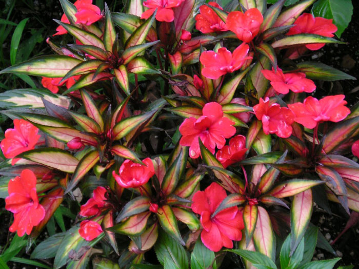 Impatiens new guinea kerala flora for New guinea impatiens